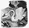 White Swan Drawing.jpg