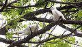 White Tern (Gygris alba) (26372409132).jpg