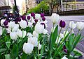 White and Purple Tulips (27814154350).jpg