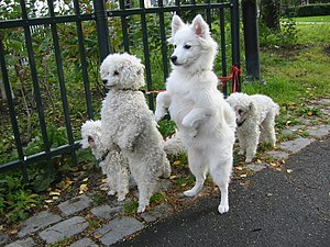 White dogs on hind legs