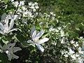 White flowers (5750704700).jpg