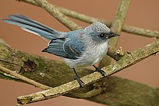White tailed blue flycatcher1.jpg