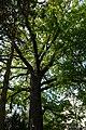 Wiener Naturdenkmal 370 - Traubeneiche (Döbling) e.JPG