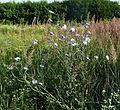 Wild Chickory - Flickr - gailhampshire.jpg