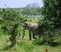 Wild Elephant yala small version.jpg