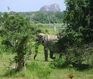 Wild Elephant yala small version