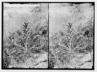Wild flowers of Palestine. Syrian acanthus (A. syriacus Boiss.). LOC matpc.02439.jpg