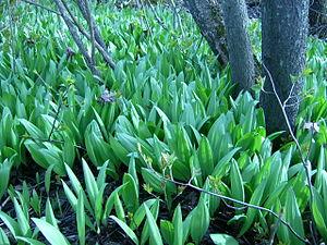 Allium tricoccum - Wild leeks, Whitefish Island, Batchewana First Nation of Ojibways