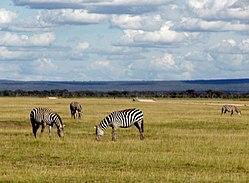 Wild zebra on Kenya countryside.jpg