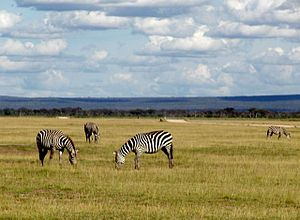 Wild zebra on Kenya countryside.jpg
