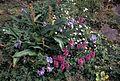 Wildflowers lousewort pedicularis and jacobs ladder polemonium.jpg