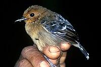Willisornis poecilonotus female-NBII Image Gallery-a00079.jpg