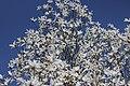 Willow-leafed Magnolia - Magnolia salicifolia (33382451224).jpg