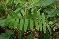 Woliński Park Narodowy ścieżka przyrodnicza Paprocie długosz królewski 2016-08-27 p3.jpg