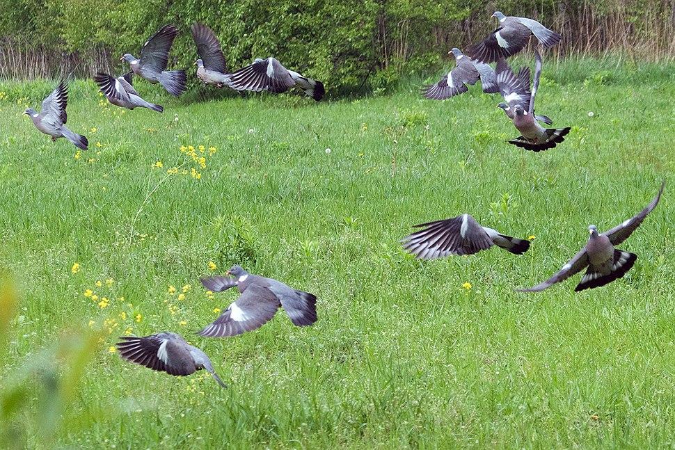 Wood Pigeon Lodz(Poland)(js)01