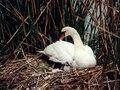 Wzwz munich westpark swans.tif