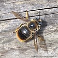 Xylocopa cantabrita, top side, RikenMon Nature-Guide.jpg