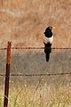 Yellow-billed Magpie near Los Olivos.jpg