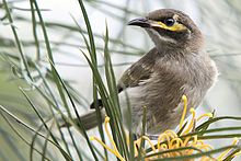 Yellow-faced Honeyeater in a Grevillea