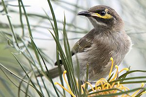 Yellow-faced Honeyeater grevillea