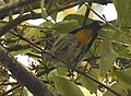 Yellow-rumped Flowerpecker AMSM2504.jpg