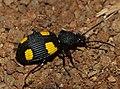 Yellow-spotted Ground Beetle (Craspedophorus bonvouloiri) (12800228973).jpg