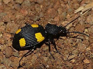 <i>Craspedophorus</i> Genus of beetles