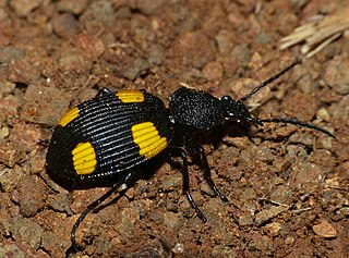 <i>Craspedophorus</i> genus of insects