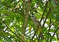 Yellow-vented Bulbul (Pycnonotus goiavier) (18118956624).jpg