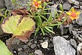 Yellow Mountain Saxifrage - Saxifraga aizoides (44257798212).jpg
