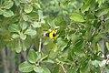 Yellow Oreole (Sunderbans Safari) (38271225846).jpg