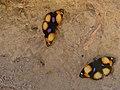 Yellow Pansies (Junonia hierta) (6871624024).jpg