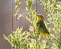Yellow Warbler (34814649181).jpg