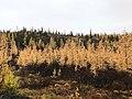 Yellow larch among the black spruce (48680953776).jpg