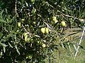 Yerakini Green Olives on the tree, Oct 2014.jpg