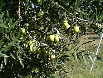 Yerakini - Green Olives on the tree before harvest