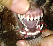 Yorkie's retained deciduous or baby fangs.