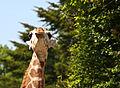 Young giraffe (4645484671).jpg