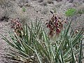 Yucca baccata var. baccata.jpg