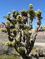 Yucca brevifolia in bloom.jpg