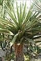 Yucca faxoniana 2zz.jpg