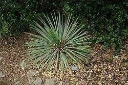 Yucca glauca by Nick.JPG