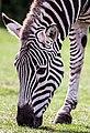 Zebra Grazing (9659709105).jpg