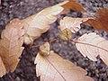 Zelkova carpinifolia0.jpg