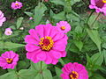 Zinnia from Lalbagh Flowershow - August 2012 101511.jpg
