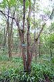 Zizyphon jujubum (Zizyphu jujuba var. spinosus) - Chengdu Botanical Garden - Chengdu, China - DSC03605.JPG