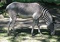Zoo Augsburg Zebra.JPG