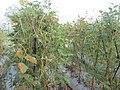 """+arya+"" kacang panjang (Vigna unguiculata sesquipedalis) ꦏꦕꦁ ꦭꦚ꧀ꦗꦫꦤ꧀ 2020 1.jpg"