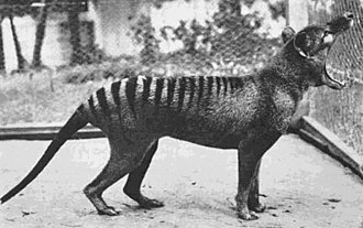 "The last known thylacine photographed at Beaumaris Zoo in 1933. A scrotal sac is not visible in this or any other of the photos or film taken, leading to the supposition that ""Benjamin"" was a female. However, photographic analysis in 2011 suggested that ""Benjamin"" was male. ""Benjamin"".jpg"