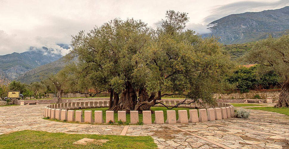 """Olea europea"", which is over 2000 years old. Full view."